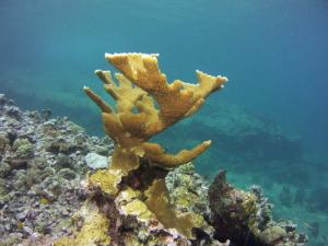 Elkhorn coral shot on SeaLife underwater camera