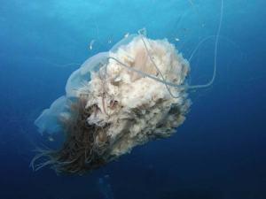 Jellyfish shot on SeaLife underwater camera