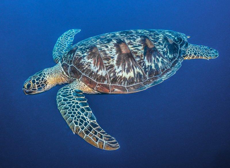 sea turtle palau ocean japan