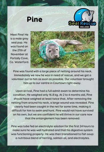 Pine Adoption