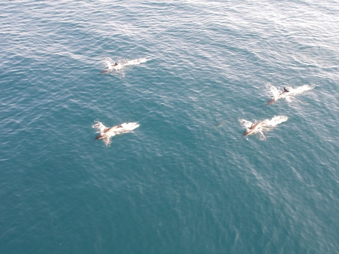 Dolphins swimming in the Black Sea.