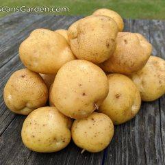 German Butterball Potatoes