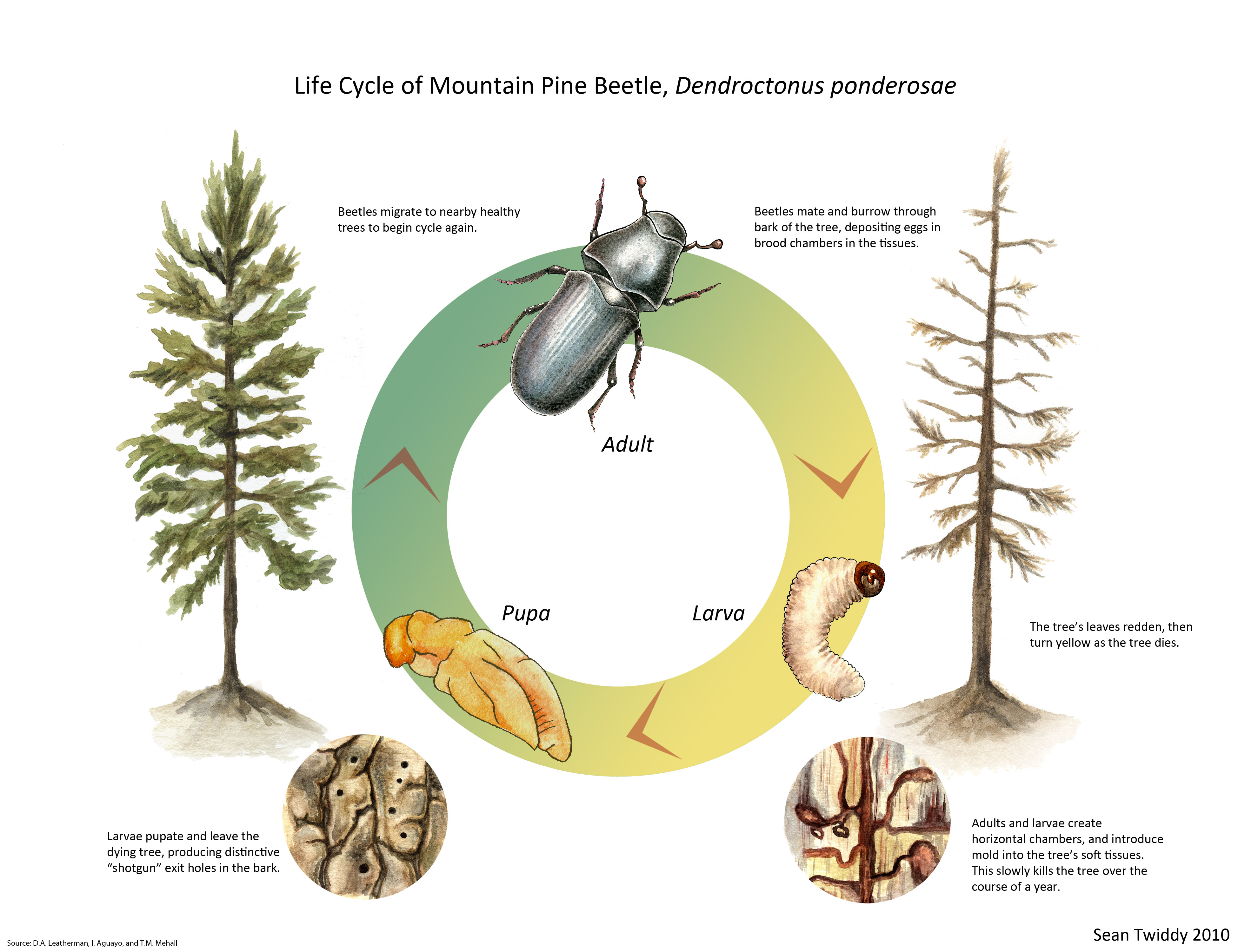Life Cycle Of Mountain Pine Beetle Sean Twiddy S Bughaus