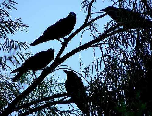 cacophony of ravens