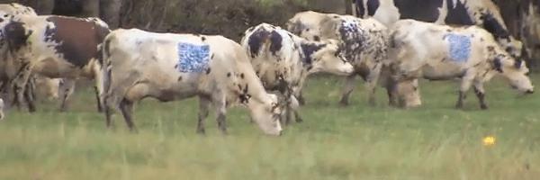 QR Code Cow | 5 Crazy QR Code Uses