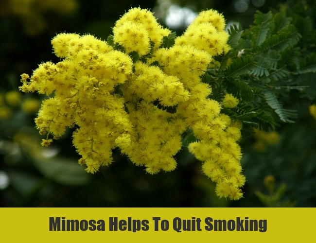 Mimosa Helps To Quit Smoking