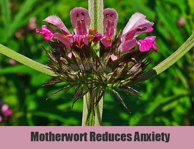 Motherwort Reduces Anxiety