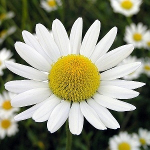 Chamomile for dermatitis