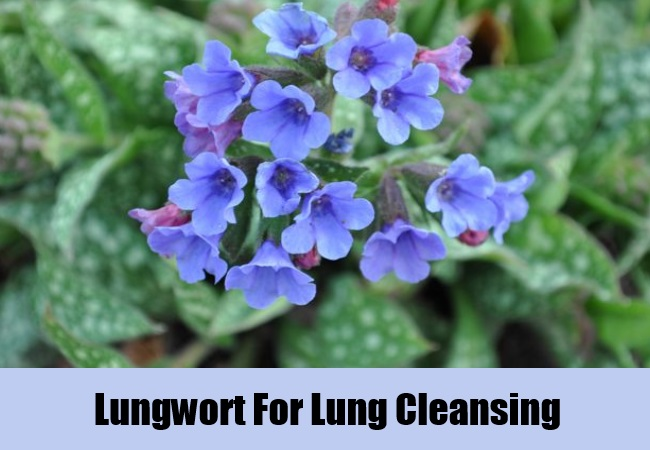 Lungwort For Lung Cleansing