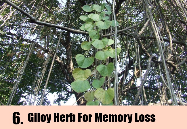 Giloy Herb