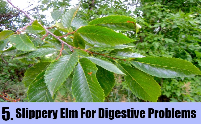 Slippery Elm