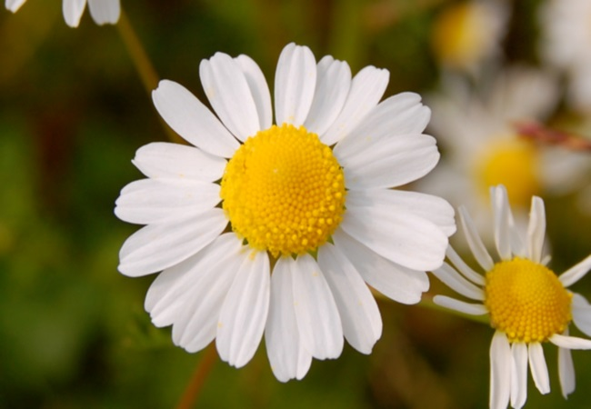 Chamomile To Improve Digestion