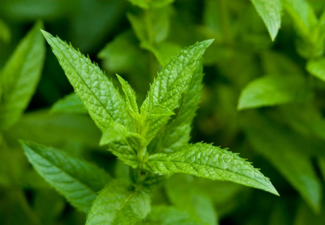 Peppermint To Improve Digestion