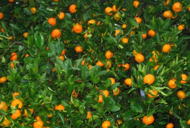 Tangerines: