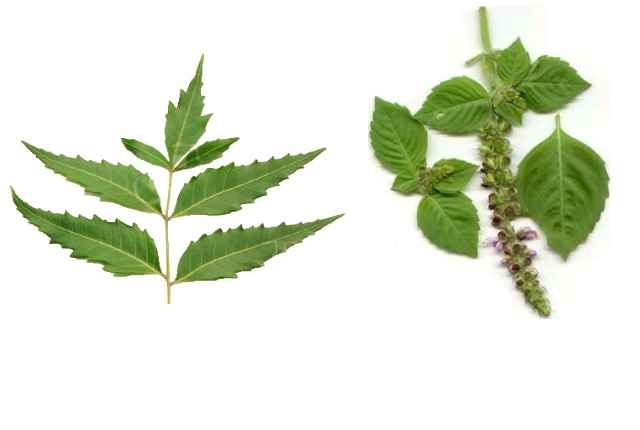 Neem And Tulsi Leaves