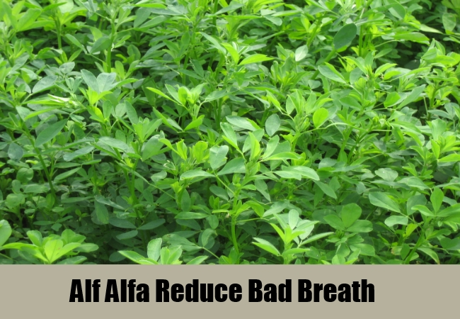 Alf Alfa Reduce Bad Breath