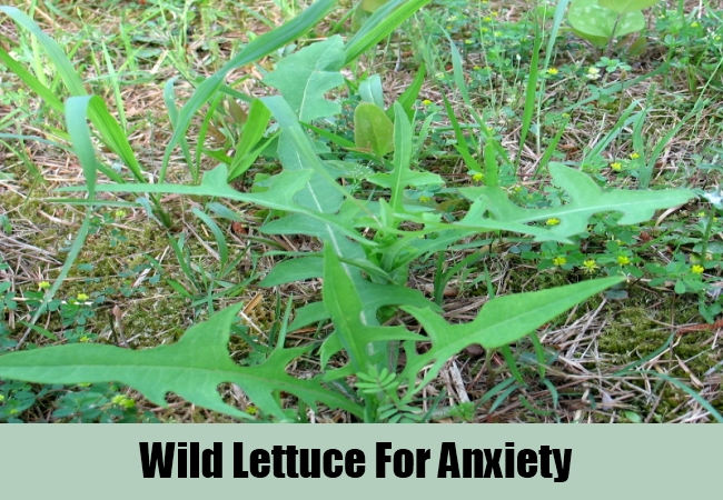 Wild Lettuce For Anxiety
