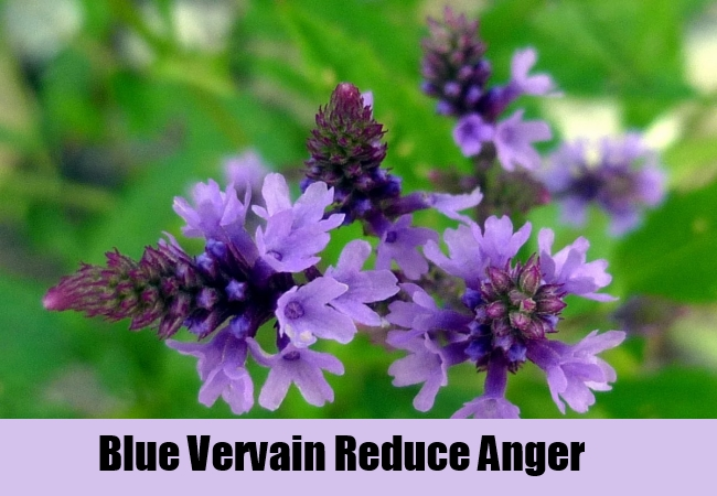 Blue Vervain Reduce Anger