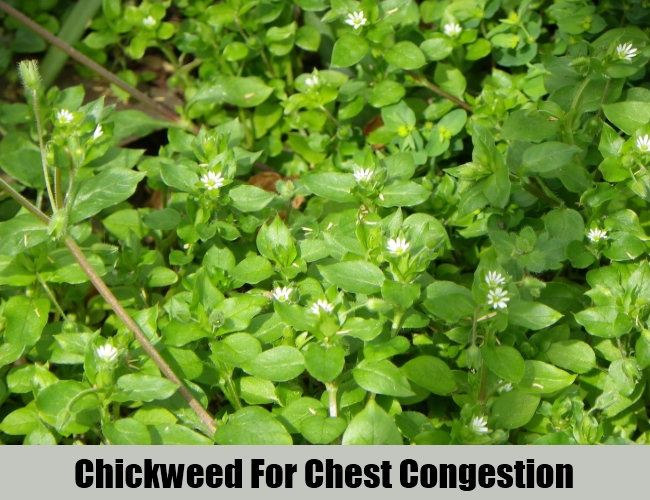 Chickweed For Chest Congestion
