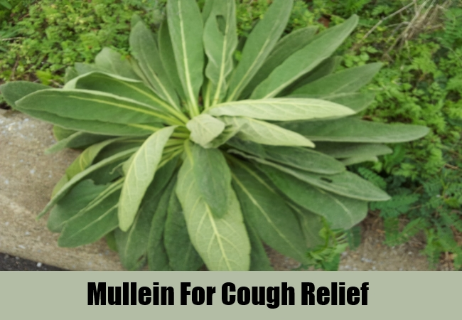 Mullein For Cough Relief