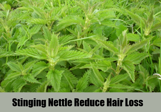 Stinging Nettle Reduce Hair Loss