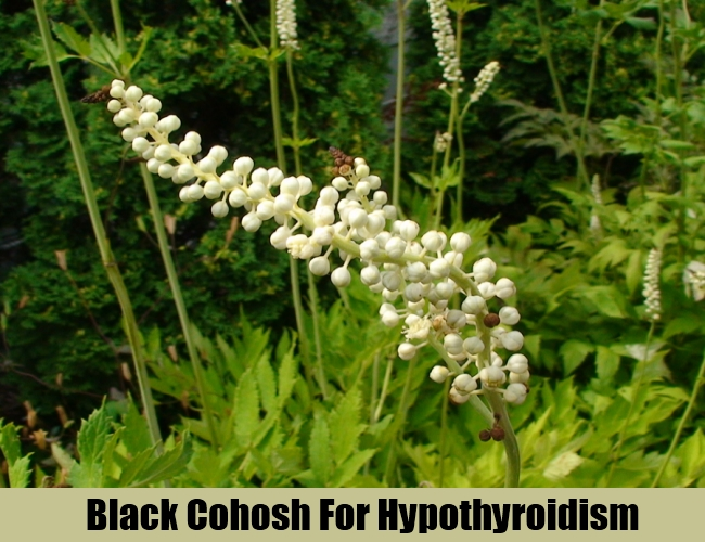 Black Cohosh For Hypothyroidism