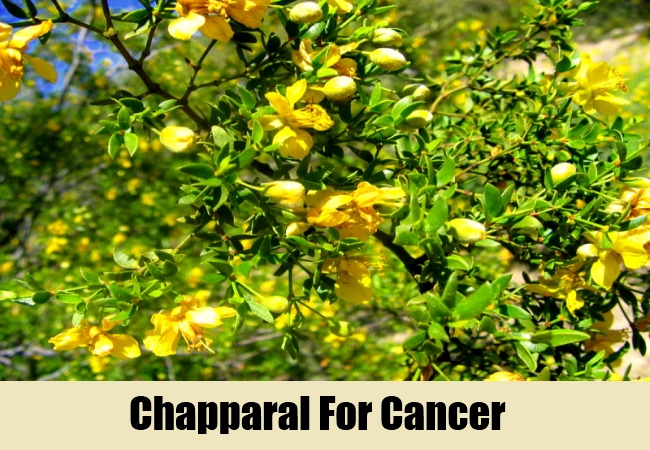 Chapparal For Cancer