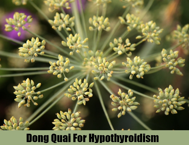 Dong Quai For Hypothyroidism