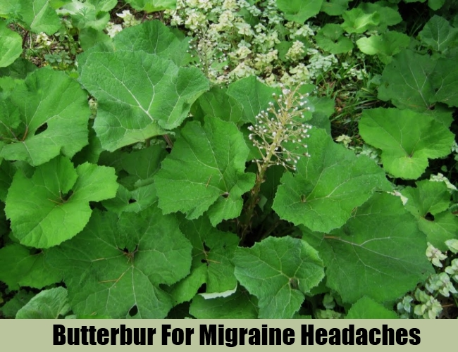 Butterbur For Migraine Headaches