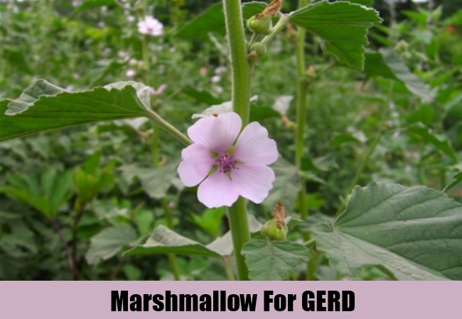 Marshmallow For GERD
