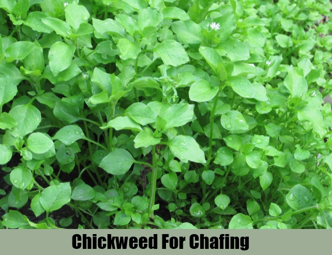 Chickweed For Chafing