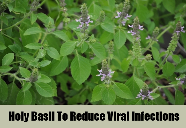Holy Basil To Reduce Viral Infections