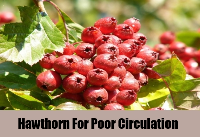 Hawthorn For Poor Circulation