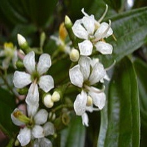 Indian Lilac