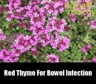 Red Thyme