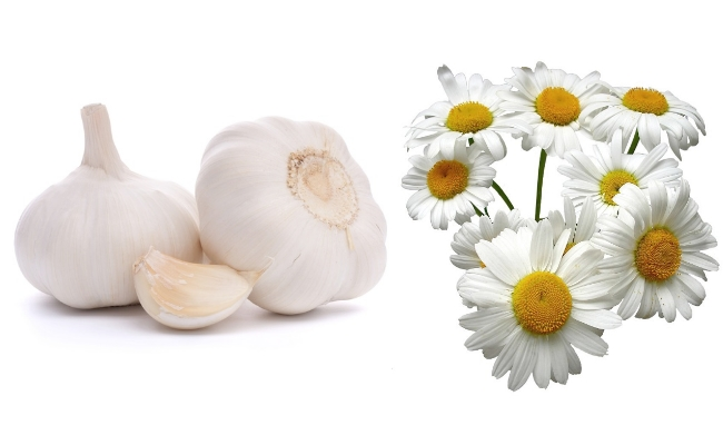 Garlic And Chamomile