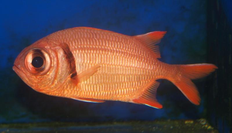 big eye squirrelfish