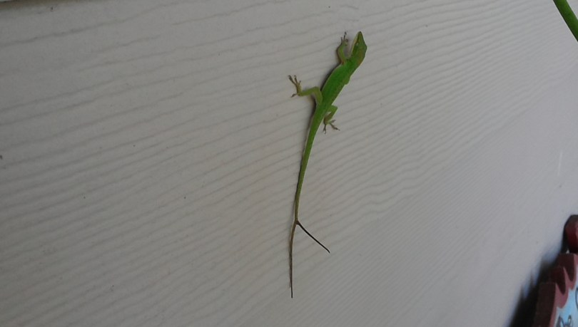 Green lizard with a forked tail