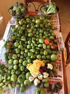 Tomatoes Dec 2012