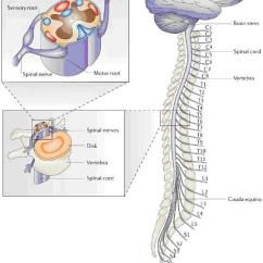 Cross Section Spinal Cord Diagram Labeled Automotive Wiring Software Free Anatomy Of The Brain And Seattle Cancer Care Alliance Image