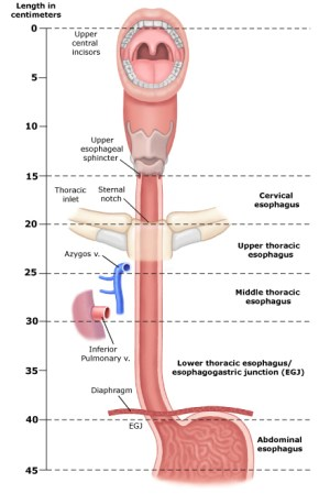 Parts of the Esophagus | Seattle Cancer Care Alliance