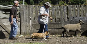 """Maggie and owner-handler Ranny Green are marching to the beat of a new drummer, namely instructor Joe Kapelos, during a getting acquainted with sheep-herding session at Ewe-topia in Roy (Pierce County). """"I'm teaching the owner more than I'm teaching the dog in the introductory classes,"""" says Kapelos."""