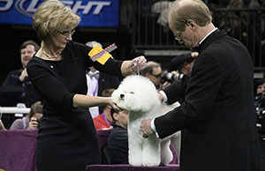 It's time to get up close and personal with Westminster finalist Honor, a Bichon Frise, while handler Lisa Bettis, of Goshen, Ind., watches.