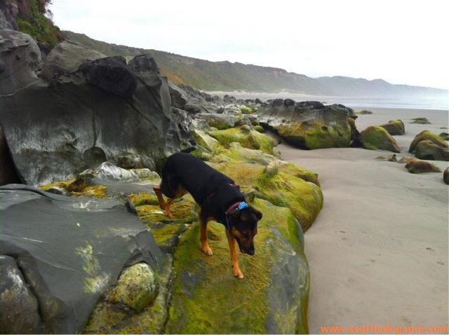 Miguel checks out the rocks at Redwoods State and National Park. Photo from Seattle DogSpot.