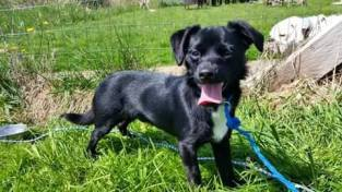 Radar was a 7-week-old chihuahua mix that had breathing problems for the 4 weeks he was in foster. MSMR refused to pay for him to see a vet. Image credit withheld.