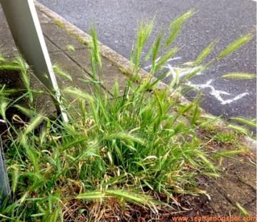 Foxtail grass growing on a sidewalk in Seattle. Photo from Seattle DogSpot.