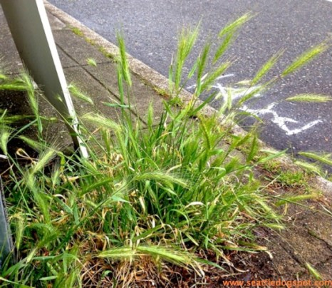 Foxtail grass can often be found around street signs or telephone poles.