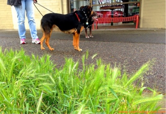 Encountering Foxtail grass in Seattle.