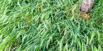 Keep Your Dog Away from Deadly Foxtail Grass This Summer