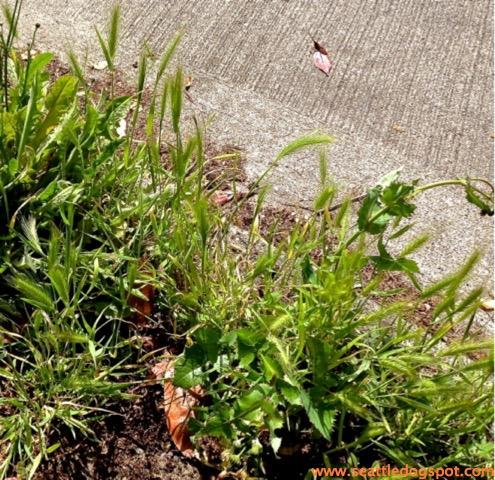 Foxtail grass found around Seattle, Washington.